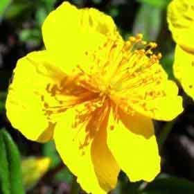 fleur de Bach