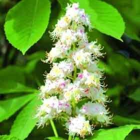 White Chestnut